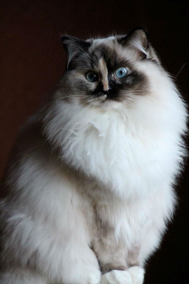 Maybe Wonka ragdoll seal tortie point mitted