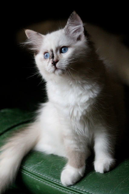 Latika chaton ragdoll de l`Ulyssiade