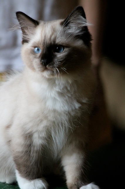 Barbouille chaton ragdoll de l`Ulyssiade