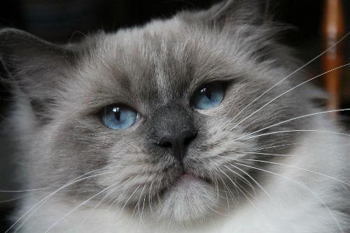 Lucky Life de L`Ulyssiade ragdoll blue