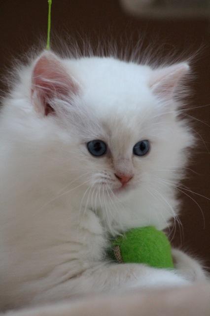 Millesim chaton ragdoll 7 semaines