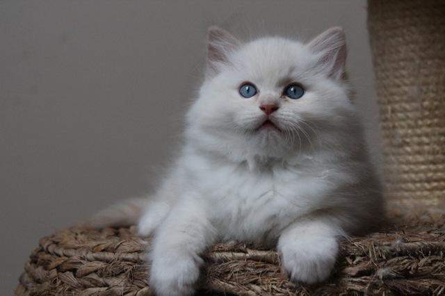 Miyazaki ragdoll crème bébé