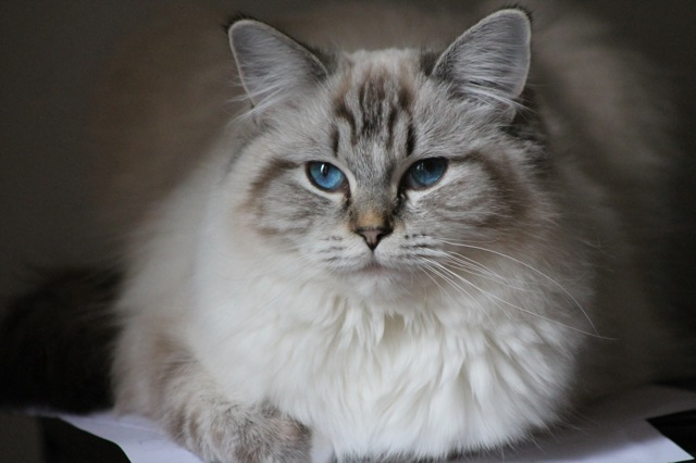 Makhéa des Ragouzi , ragdoll seal tabby point mitted