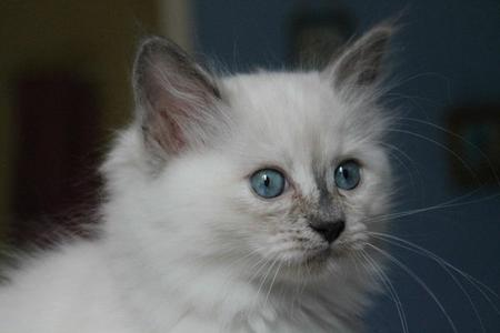Nerfertiti ragdoll blue tortie point